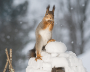 Squirrel on an igloo