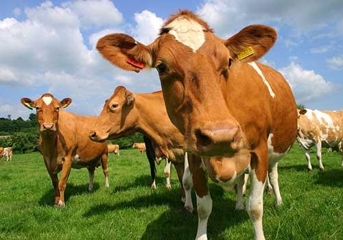 Guernsey - Cows