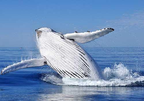Alaska--humpback-whale