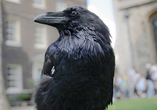 Tower of London - Tower Raven