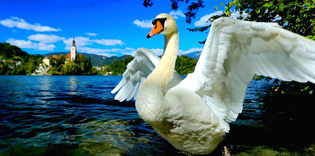 Slovenia-Swan