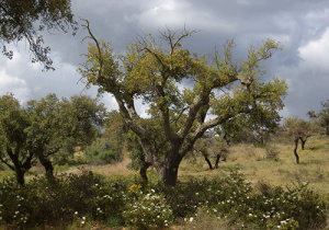Cork-Oak-Trees,-Alentejo