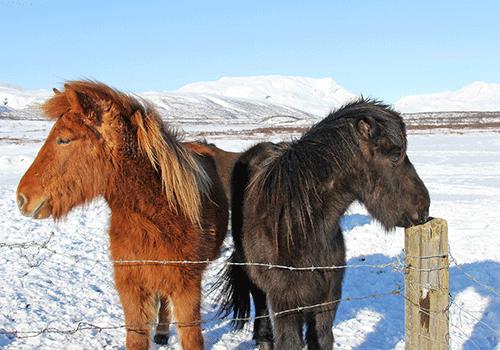 Iceland - Ponies