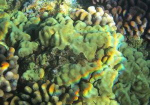 Maui-Molokai-coral