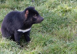 Tasmanian-Devil-Tasmania