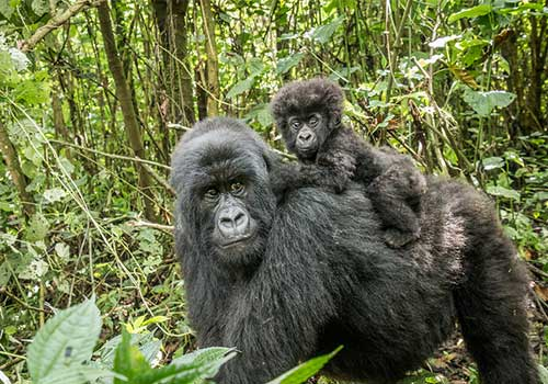 Gorilla--Mom_and-baby