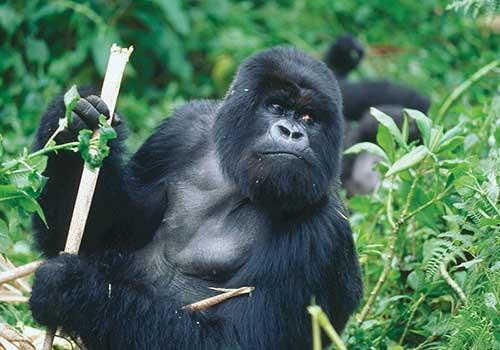 Mountain-Gorilla-Foraging Food