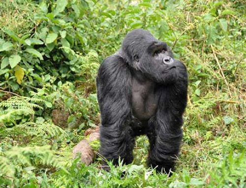 Adventure Travel: Tracking the Mountain Gorilla