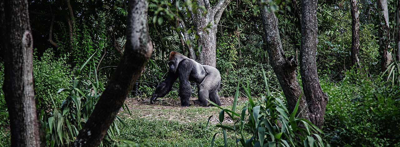 Mountain--Gorilla-Silverback