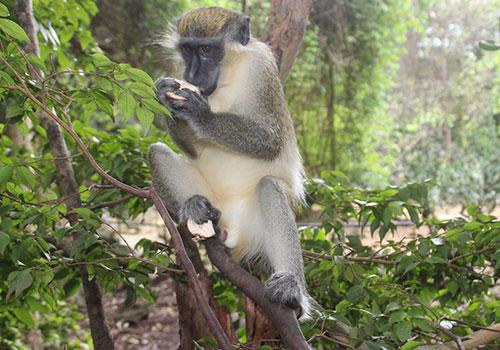 Barbados-Monkey