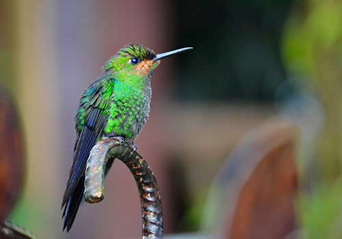 Costa-Rica-hummingbird