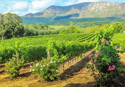 Winelands - vineyard