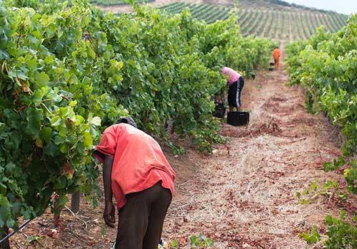 Winelands-vineyard-workers-Stellenbosch