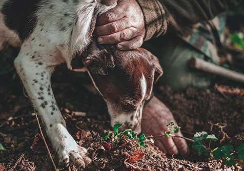 Truffle-Hunting-Dog-Digging
