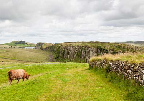Ancient Britain - Cow and Hadrians Wall