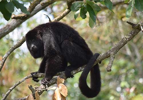 Belize - monkey
