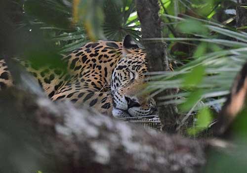 Belize - jaguar