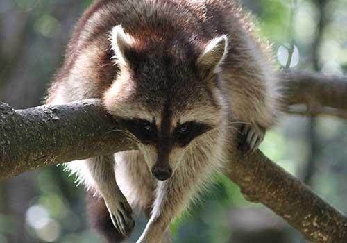 Guadeloupe Islands caribbean - raccoon
