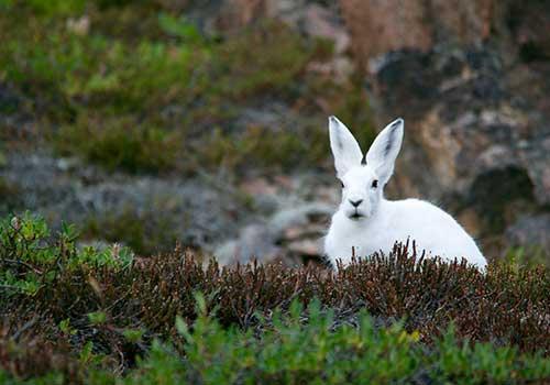 Greenland-Arctic Hare